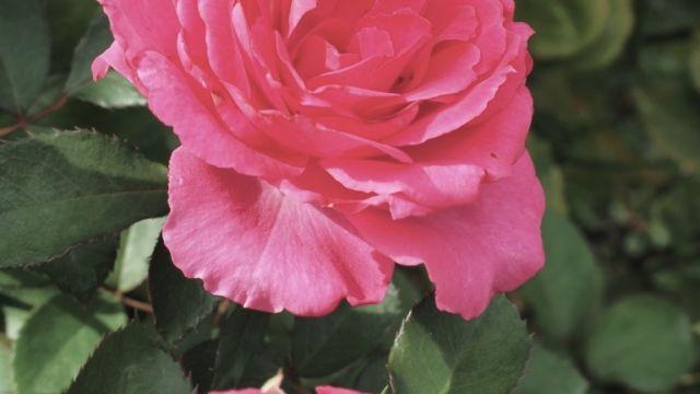 Rose Urara