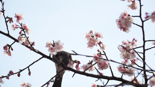 次の花を狙うヒヨドリ