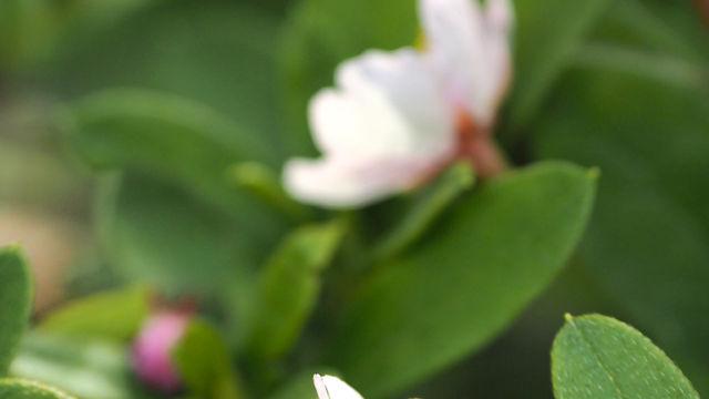 鳥たちに散らされて桜の花