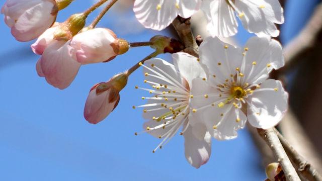 新たに発見した、ご近所の桜