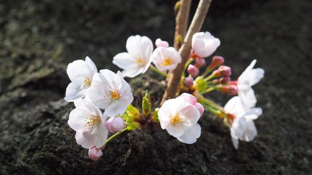 桜ってこんな風に幹から直接咲きますよね。