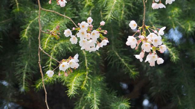 ご近所の公園の桜。べつに枝垂れ桜ではないのですが。