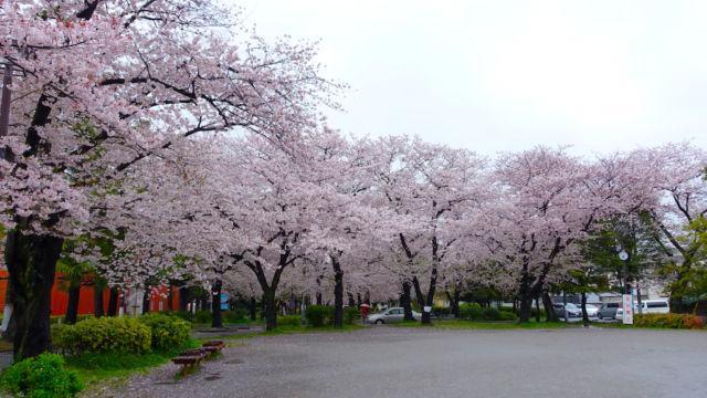 ソメイヨシノの広場