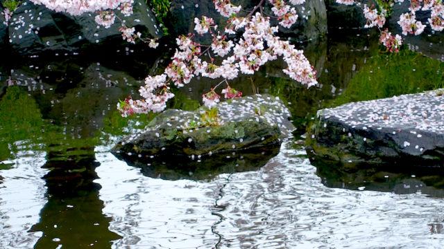 ソメイヨシノと鯉