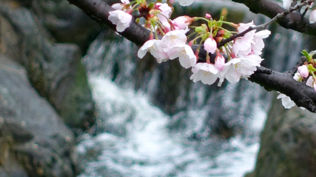 ソメイヨシノと滝