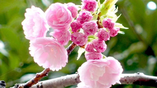 八重桜 その1