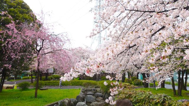 池越しの桜たち