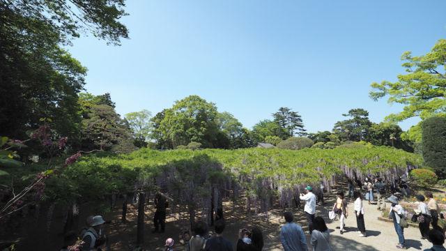 特別天然記念保存木の藤