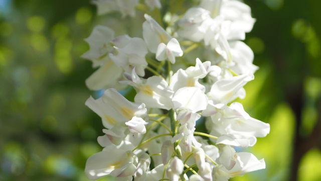 白の八重藤
