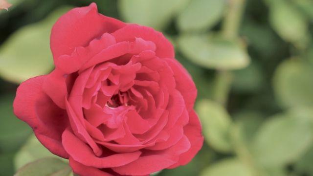 Konrad Adenauer Rose