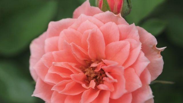 Pink Meillandina