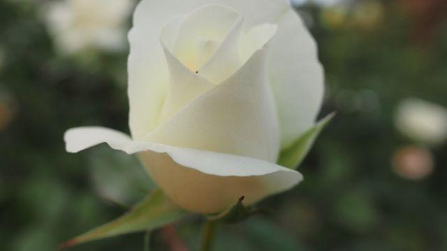 Rose Yumi