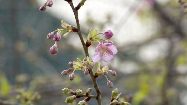 ご近所で一番先に咲く桜