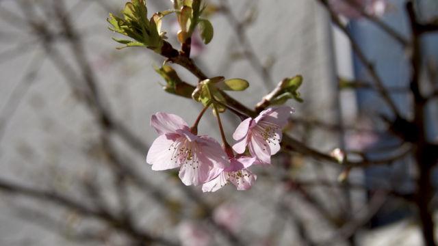 新たに発見したご近所の桜 その1