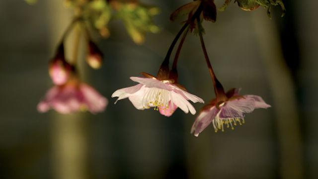 新たに発見したご近所の桜 その2