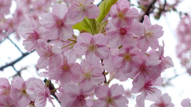 この樹はたぶん河津桜