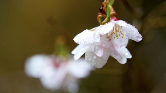 濡れる花びら