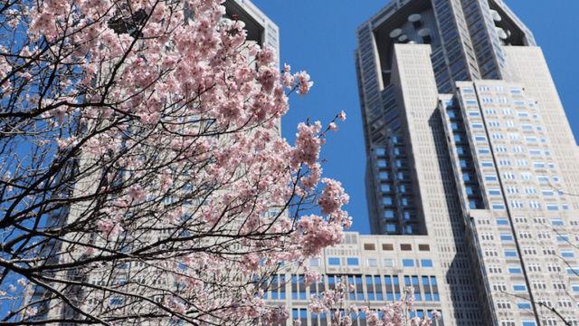 新宿中央公園にて。都庁と桜