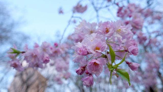 日比谷公園の桜です