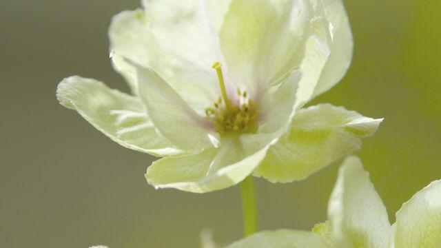 ウチの鬱金桜です