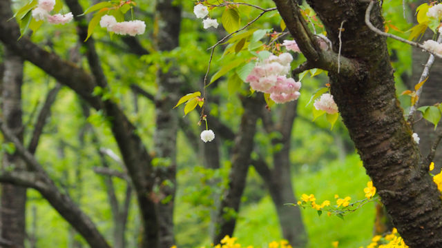 桜に菜の花