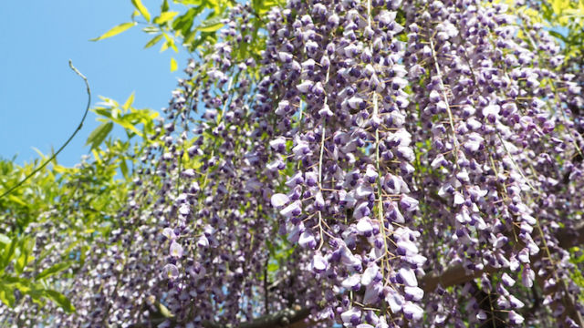 藤紫の豊かな花房